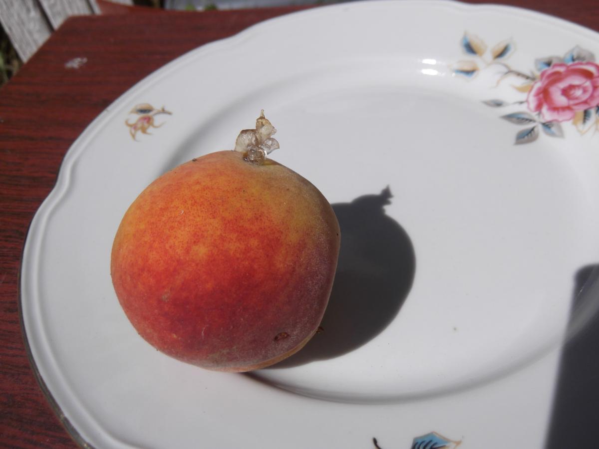 Смола на персике